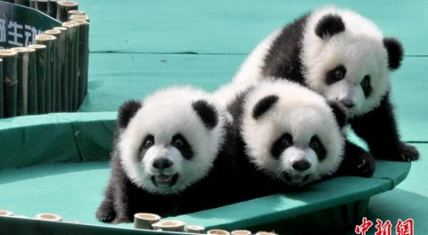 World's only surviving panda triplets get names